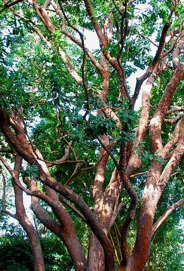 This Evergreen Tree Is One Of Our Best Ing Plants And For Good Reason Its Beautiful We Are So Enthralled With It That Grow In Both A Low