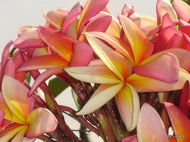 7d1304b277 Jasmim-manga ou árvore-pagode. Seu nome científico é Plumeria rubra ou Plumeria  rubra acutifolia. Família das apocináceas. Florescem no outono e verão.