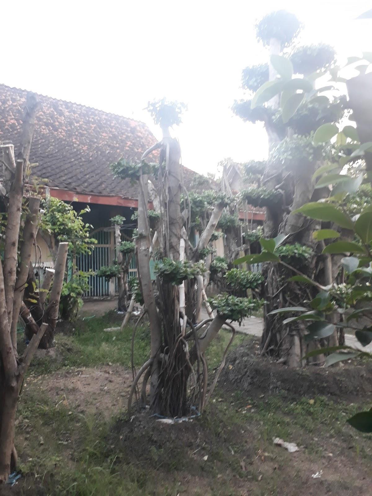 Jual Aneka Jenis Tanaman Bonsai Surabaya Gresik Dan Lamongan
