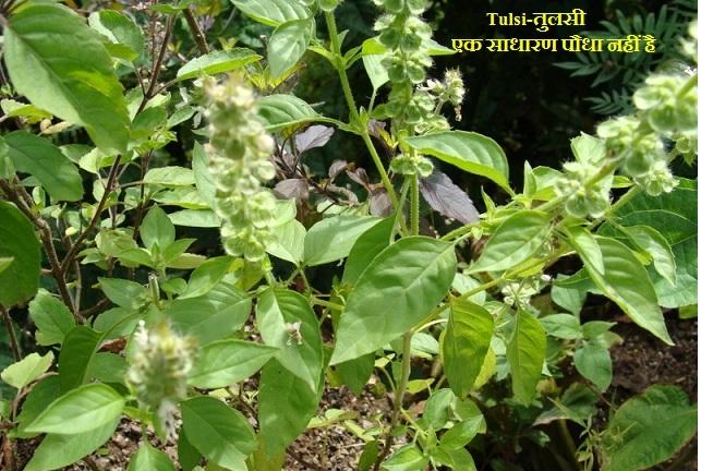 तुलसी एक साधारण पौधा नहीं है
