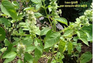 Tulsi-तुलसी एक साधारण पौधा नहीं है