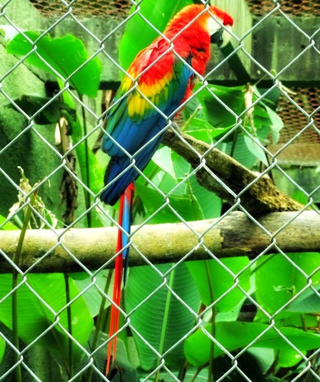 Arara tricolor: talvez a espécie mais conhecida dentre as araras