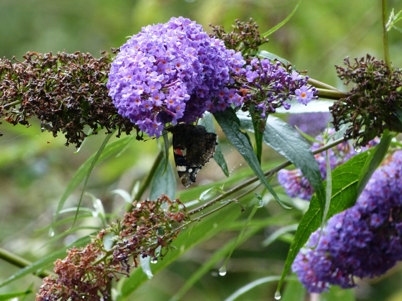 Butterfly Pictures: Buddleia activity