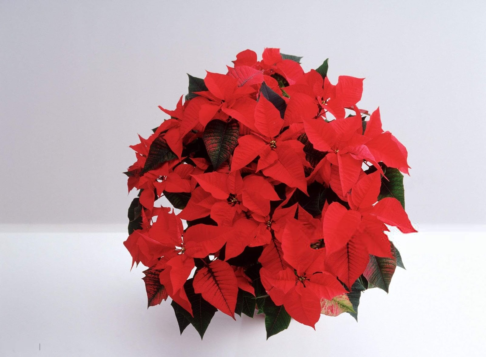 Christmas Flowers Images