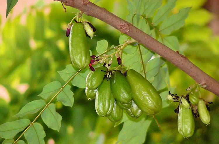 Khasiat Tumbuhan Belimbing Wuluh Untuk Obat Herbal
