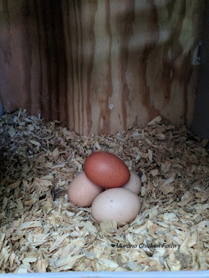 Eggs in nest box, how to get clean eggs from your hens.