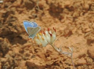 Macho de Polyommatus thersites