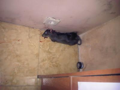 Tikus Paramuda