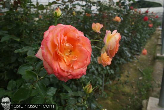Gambar bunga cantik Cameron Highlands