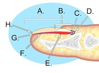 Nail Anatomy
