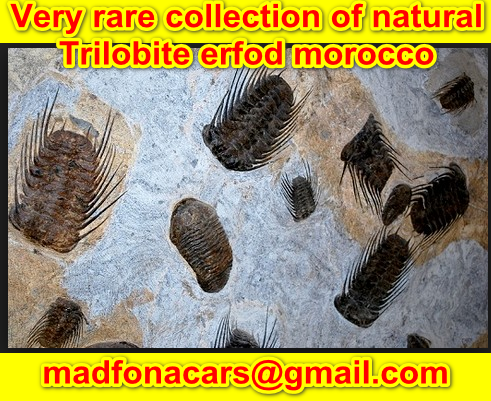 Very rare collection of natural Trilobite erfod morocco