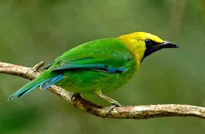 Jantan Dan Betina Burung Cucak Ranting Serta Cara Perawatannya Setiap Hari Agar Cepat Gacor