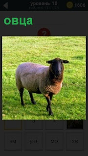 В поле на траве пасется одинокая овца, еле передвигая свои копыта двигается вперед