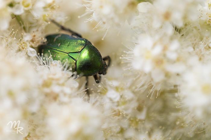 kuoriaisen upea vihreä väri