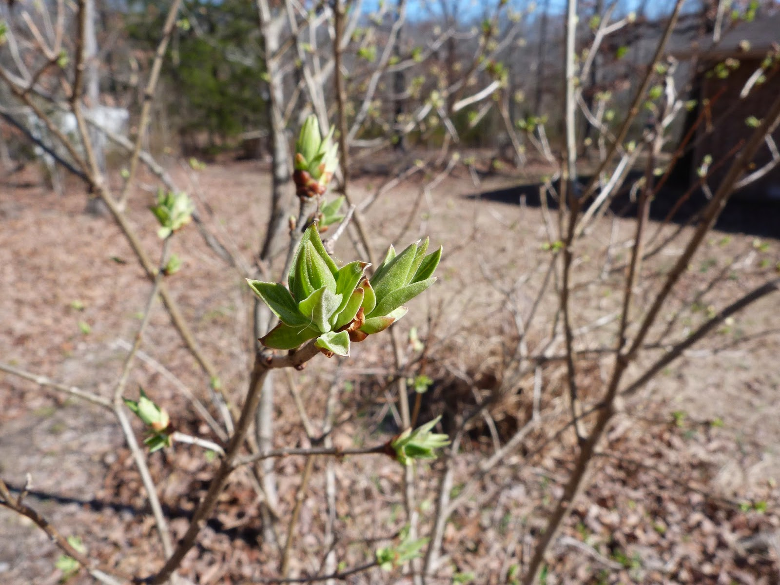 chmusings: lilacs are getting their leaves