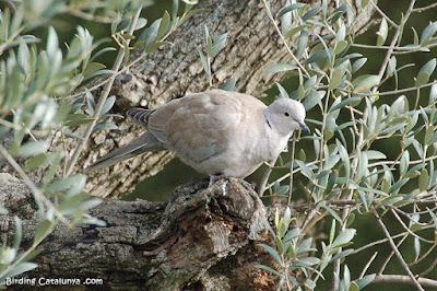 Tórtora turca (Streptopelia decaocto)