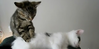 gambar kucing memijat