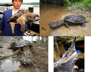 Matamata Kaplumbağası Özellikleri