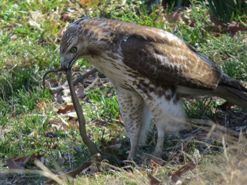red tail hawk eating a snake