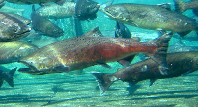 Life cycle and internal navigation systems of Pacific salmon testify of the genius of our Creator