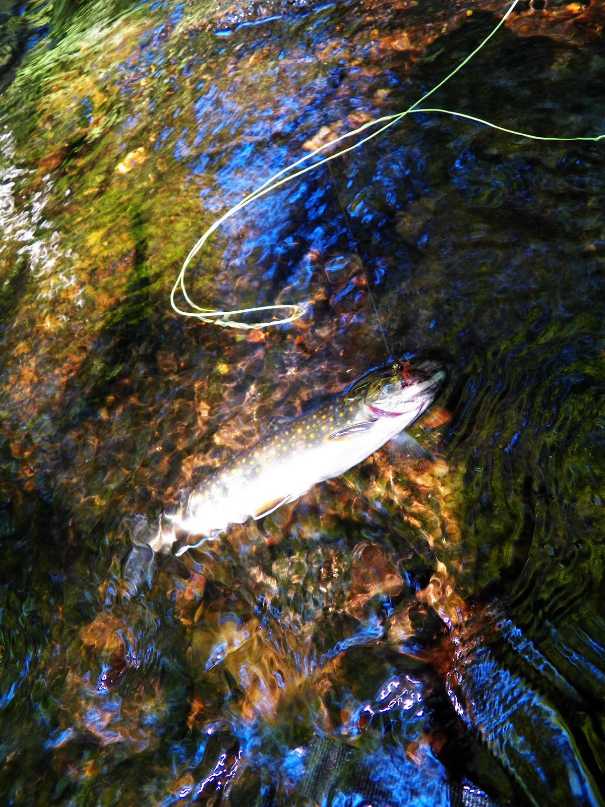 connecticut fly angler my biggest wild brook trout so far