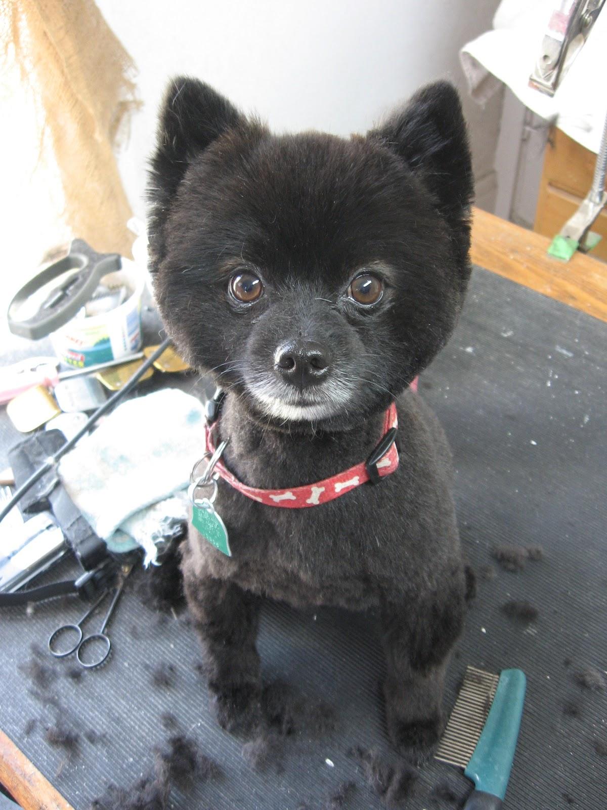 black teddy bear pomeranian - photo #19