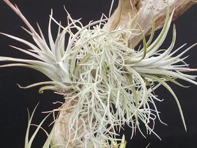 Tillandsia air plants RHS Cardiff Show 2018 Green Fingered Blog