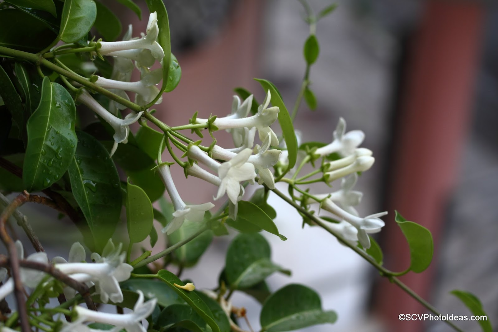 Stephanotis floribunda (Madagascar jasmine) showered flower bunches