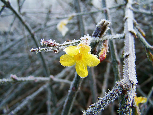 Picture of Jasmine yellow winter flowering climber Jasminum nudiflorum-life between the flowers