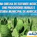 Palma Orelha de Elefante Mexicana no município de Mundo Novo