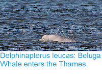 https://sciencythoughts.blogspot.com/2018/09/delphinapterus-leucas-beluga-whale.html