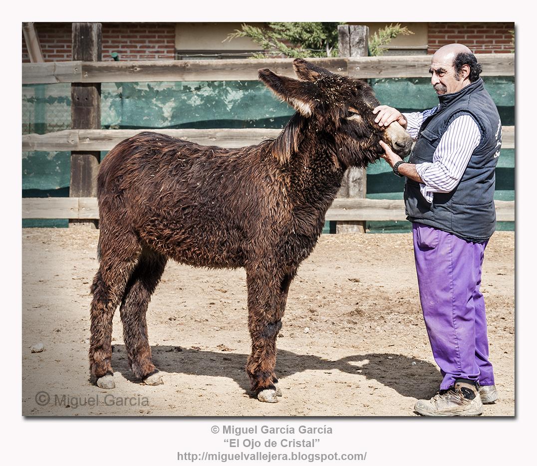 Don Cecilio Lera con uno de sus burros de raza zamorana