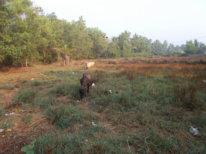 Cows grazing in the abandoned rice fields of Barkur Village.