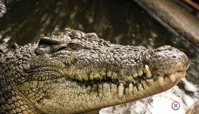 Gambar hewan karnivora atau hewan pemakan daging - Buaya