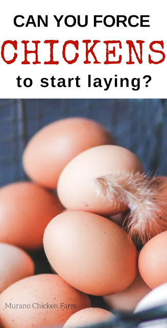 Fresh eggs   how to get a chicken to start laying
