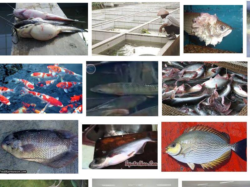 Pengendalian Hama dan Penyakit Pada Budidaya Ikan