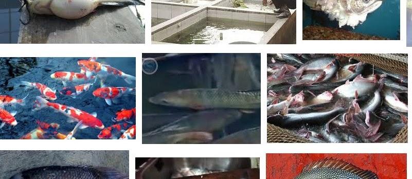 Pengendalian Hama dan Penyakit Pada Ikan Hias