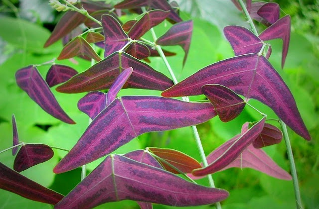 Pokok Rerama Daun Ungu (purple)