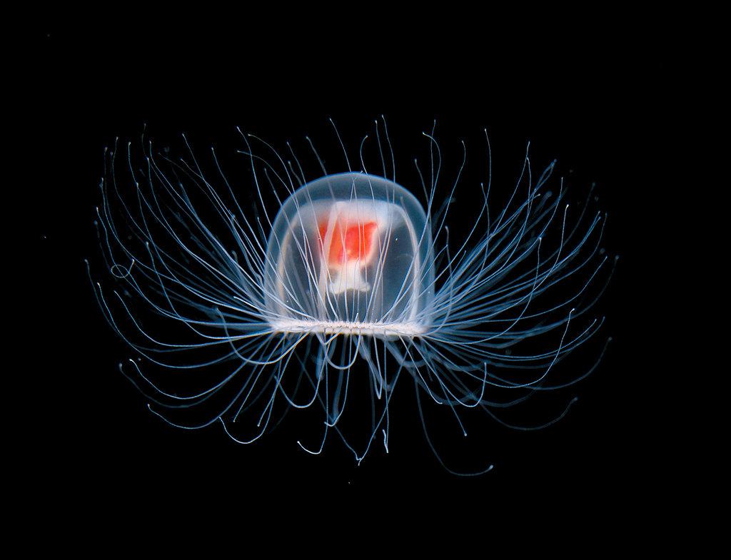 Turritopsis Nutricula: La medusa inmortal