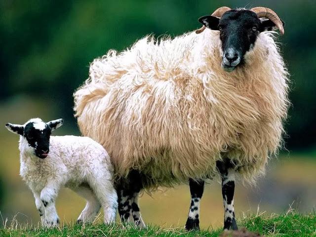 Sheep Animal wallpapers