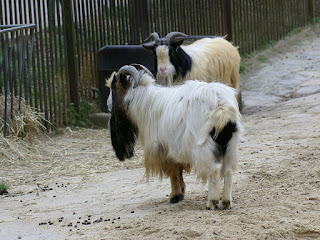 Chèvre naine du Sénégal