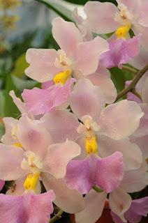 orquideas-rosadas
