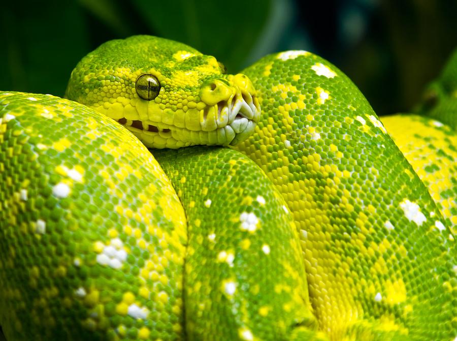 King Snake Hd Pictures Fantastic Snake Wallpaper: Snake Wallpaper HD Snake Pictures
