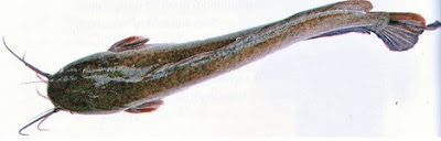2 Cara Membudidayakan Ikan Lele dengan Benar
