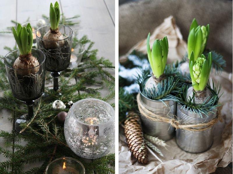 Preparare i bulbi per la fioritura di Natale