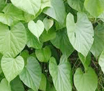 tanaman brotowali