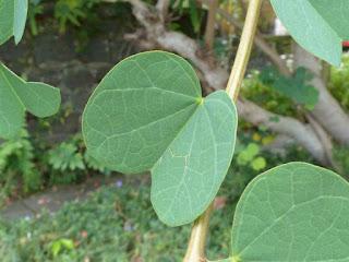 Bauhinie de Galpin - Bauhinia galpinii