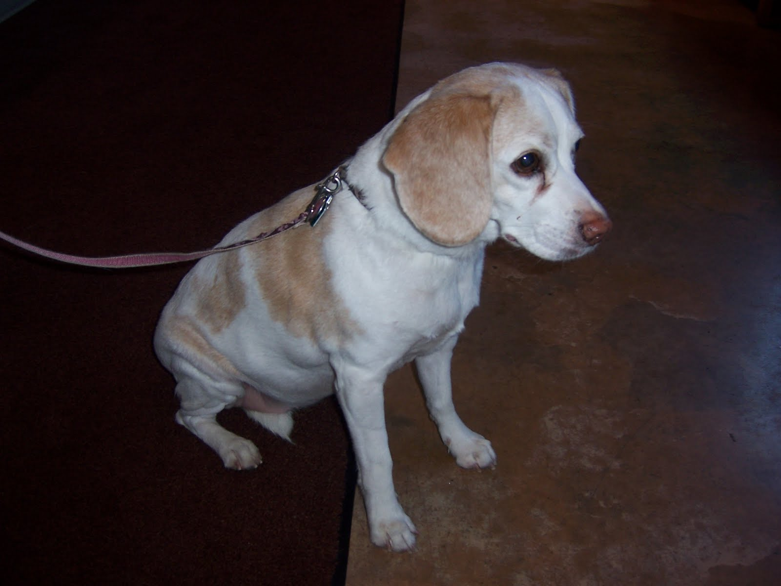 Country Critters Chiropractic Llc Lemon Beagle