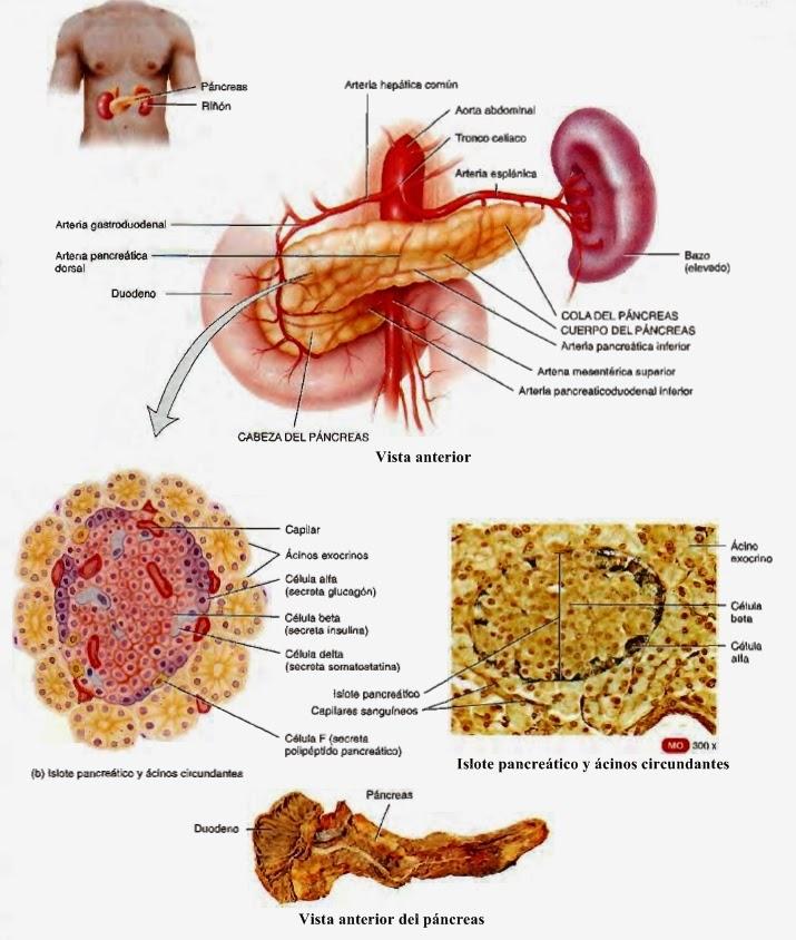 Páncreas - Sistema endocrino y Sistema Digestivo