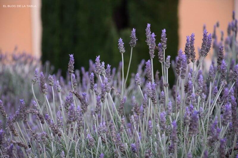 Alhucema rizada, Lavandula dentata, plantas mediterraneas florecen invierno